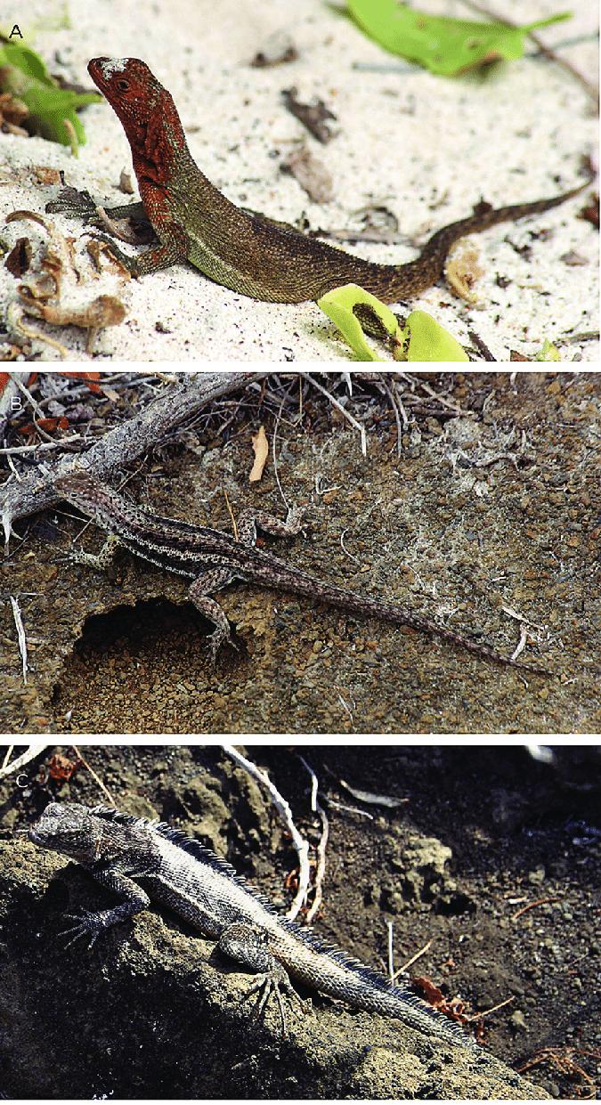 hight resolution of gal pagos iguanid lizards a hood island lava lizard female download scientific diagram