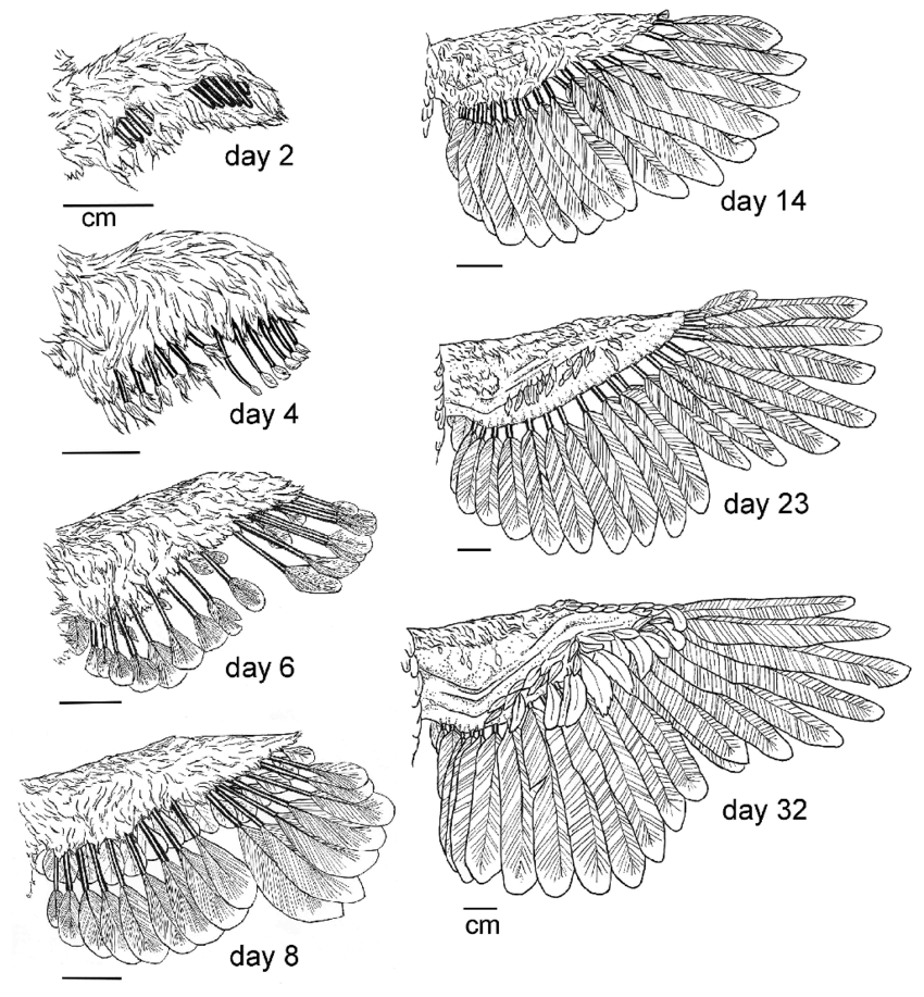 Wing and feather development for the chukar partridge