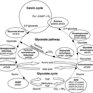 Carbon Fixation Diagram Molecule Diagram Wiring Diagram