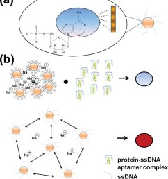 a the nitrogenous bases of single stranded dna have high affinity for the [ 850 x 989 Pixel ]