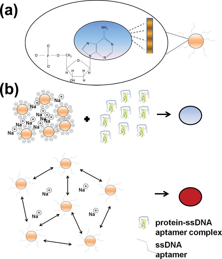 hight resolution of  a the nitrogenous bases of single stranded dna have high affinity for the