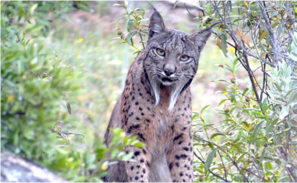 The Iberian Lynx (Lynx pardinus) is considered Critically Endangered by... | Download Scientific Diagram
