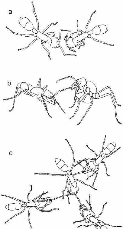 Agonistic behaviours in Dinoponera quadriceps : ( a