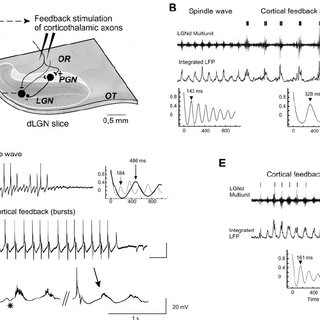 (PDF) Cortical Feedback Controls the Frequency and