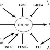 Figure 2. Rev-erb ␣ regulates CYP7A1 gene expression in
