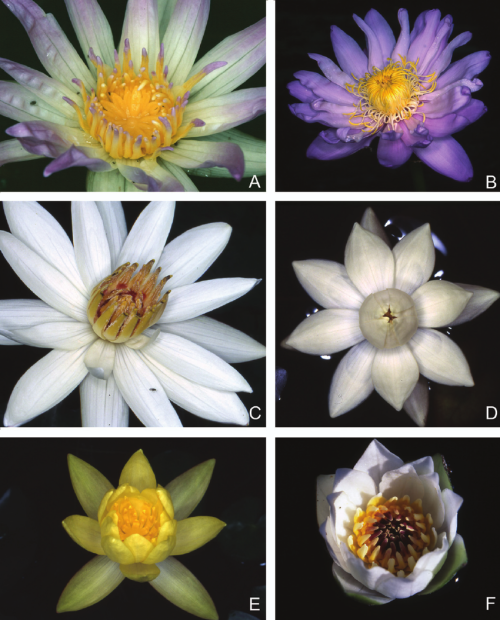 small resolution of floral diversity in the different subgenera of nymphaea a subg download scientific diagram
