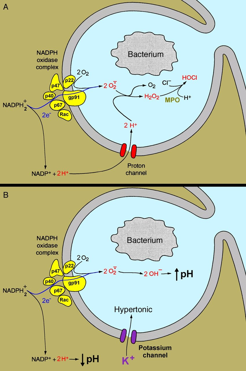 hight resolution of the respiratory burst in a phagocyte is triggered when a bacterium is phagocytosed