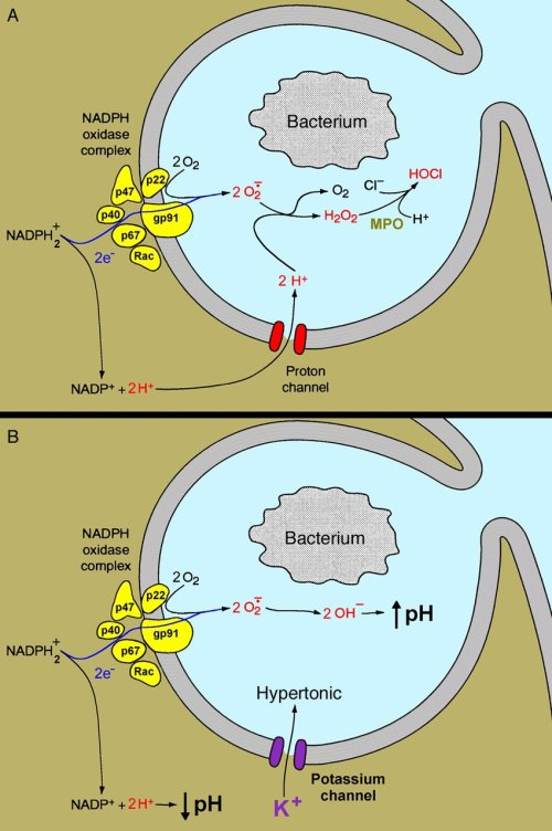 small resolution of the respiratory burst in a phagocyte is triggered when a bacterium is phagocytosed