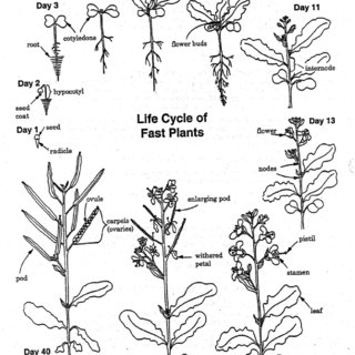The Life Cycle of the Fast Plant, Brassica rapa