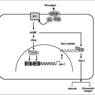 (PDF) Metabolic, hormonal and environmental regulation of