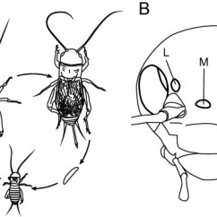 Cricket Life Cycle Diagram Three Way Wiring Diagrams And Visual Organs Of The Two Spotted G Bimaculatus Download Scientific