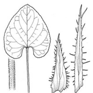 Viola selkirkii ( S Mpd ).