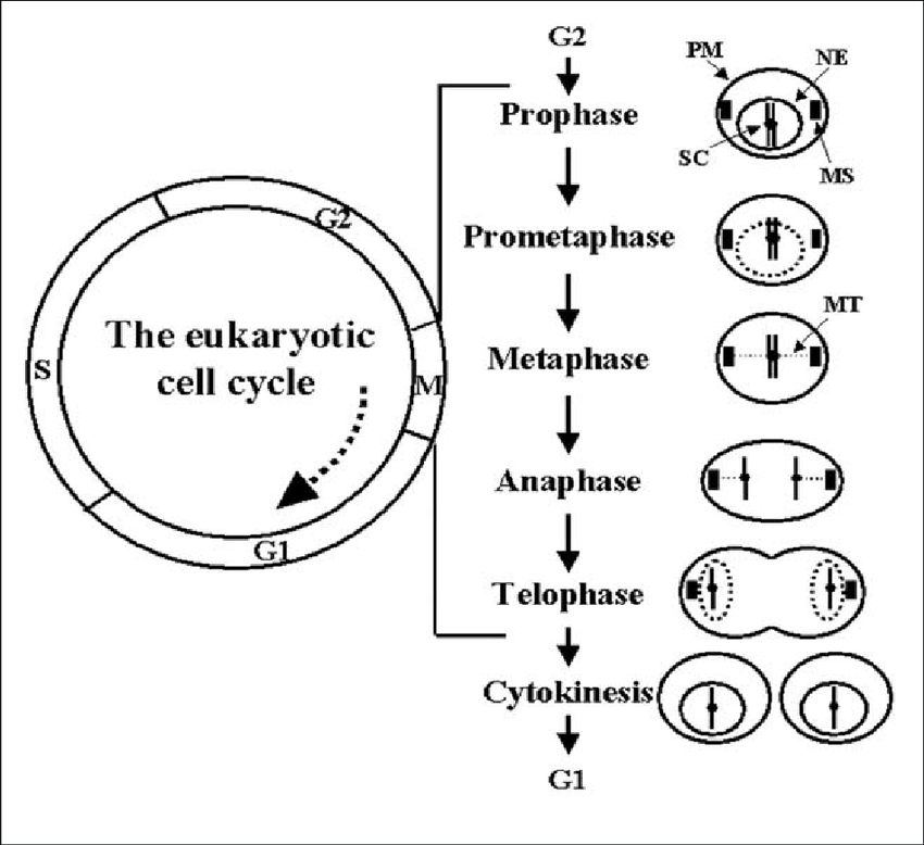 35 The Cell Cycle Coloring Worksheet Answer Key