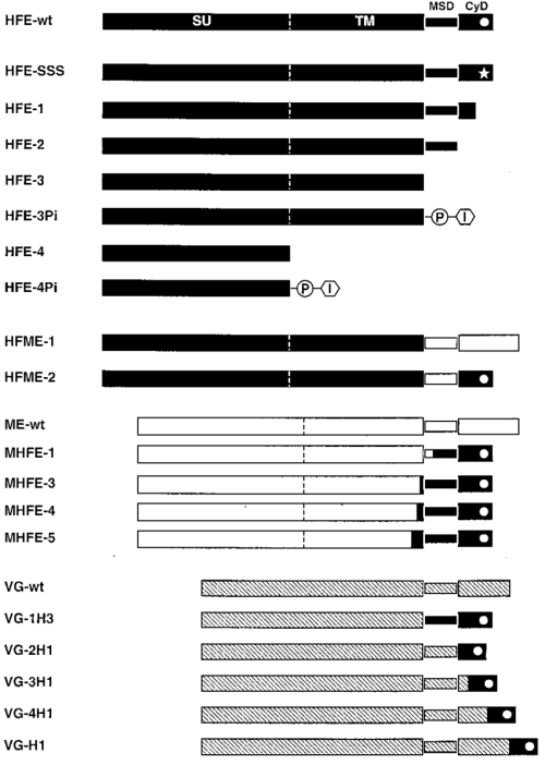 small resolution of schematic illustration of the envelope expression constructs the extracellular domains msds and cyds of