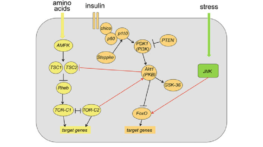 Insulin TOR and JNK signaling converge in adipose ...