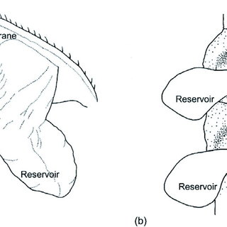 (PDF) Defensive Glands in the Adult and Larval Stages of