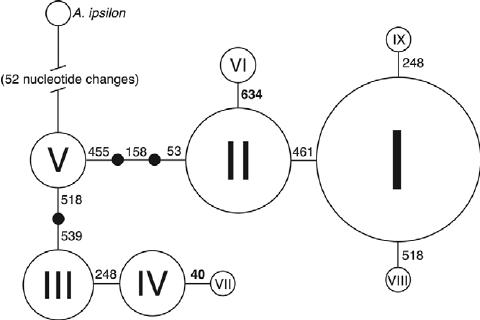 Minimum spanning network of nine western bean cutworm