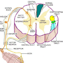 Human Muscle Cell Diagram Labeled Ww1 Trench System The Sketch Of Cross Section Spinal Cord Connected To The... | Download Scientific
