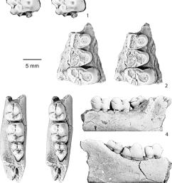 dentition of ellipsodon yotankae van valen 1978 cast of the holotype of e  [ 850 x 991 Pixel ]