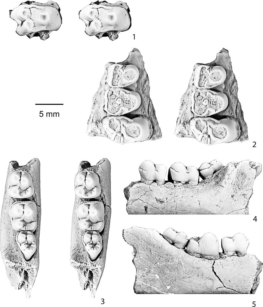 medium resolution of dentition of ellipsodon yotankae van valen 1978 cast of the holotype of e