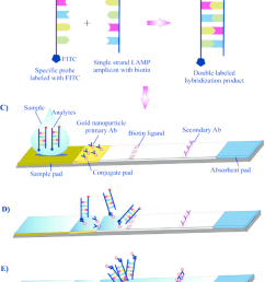 schematic design of a lateral flow test a lamp reactions was performed by using either fip or bip labeled with biotin and an fitc labeled dna probe  [ 850 x 1040 Pixel ]