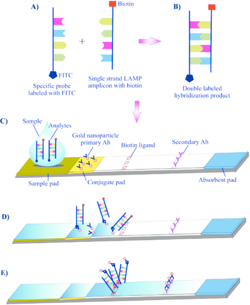 small resolution of schematic design of a lateral flow test a lamp reactions was performed by using either fip or bip labeled with biotin and an fitc labeled dna probe