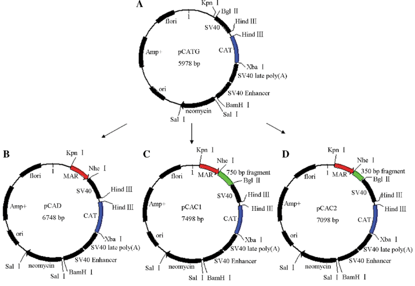 Plasmid vectors used in this study. a Control vector pCATG