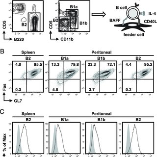 Differentiation of B1a cells into IgG 1 + cells and PBs in