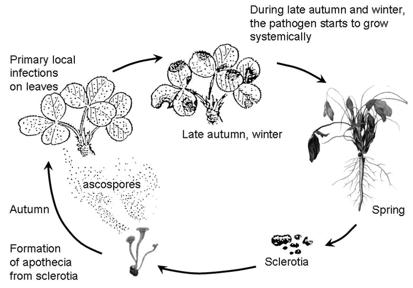 6: Life cycle of Sclerotinia trifoliorum on red clover in