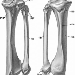 Tibia And Fibula Blank Diagram Er For Leave Management System Inside Wiring Diagrams Thumbs Right Of Patriomanis Americana Usnm P 299960 A The In Mammals