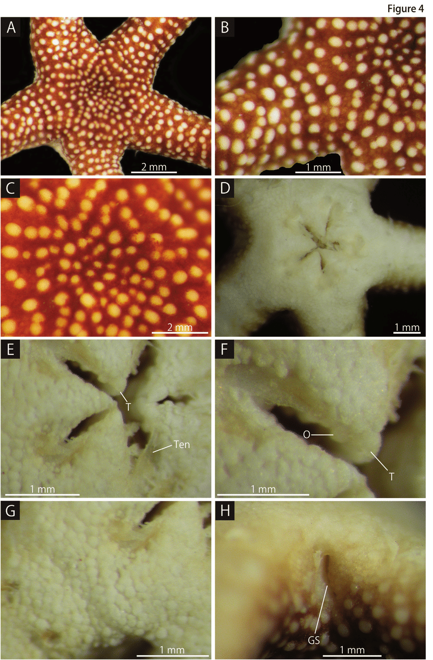 medium resolution of squamophis albozosteres sp n holotype mv f162657 a aboral disc