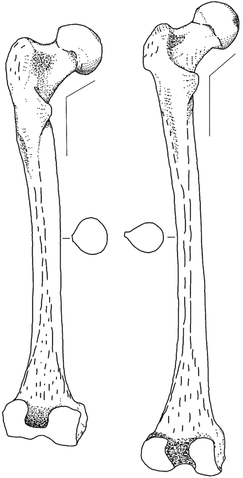 small resolution of distinctive features of the neandertal femur left the neandertal 1 download scientific diagram