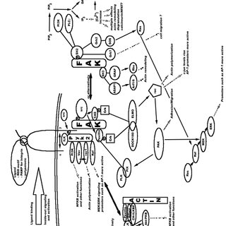Integrin-mediated signaling. This diagram is based on the