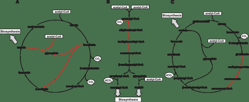 regulasi siklus krebs