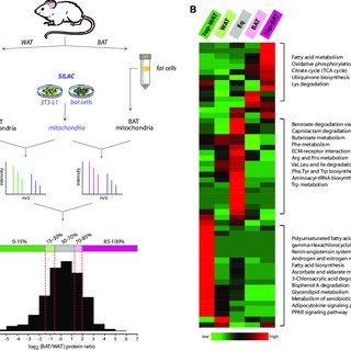 white fat cell diagram human brain label pdf proteome differences between brown and mitochondria quantitative protein analysis of versus a are enriched