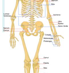 figure a 3 diagram of major human body bones source wikimedia commons [ 850 x 1641 Pixel ]