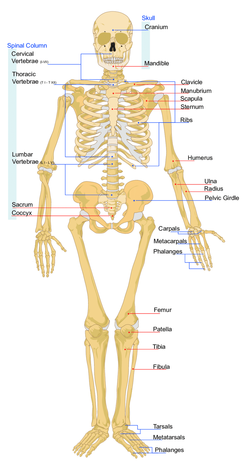 medium resolution of figure a 3 diagram of major human body bones source wikimedia commons