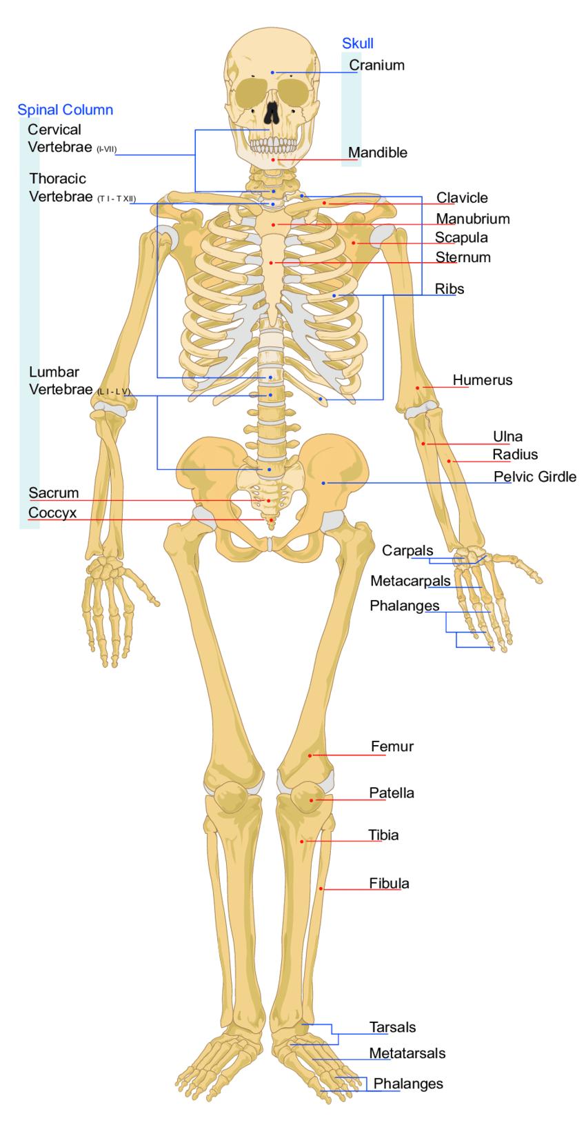 hight resolution of figure a 3 diagram of major human body bones source wikimedia 206 bones of the human body diagram human body bones diagram