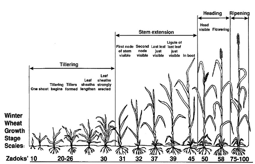 3. Zadoks' growth stages of winter wheat (adapted from