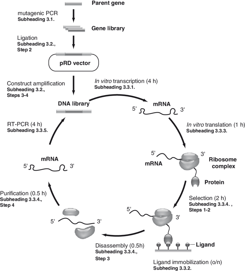 hight resolution of preparation of ribosome display construct and principle of ribosome download scientific diagram