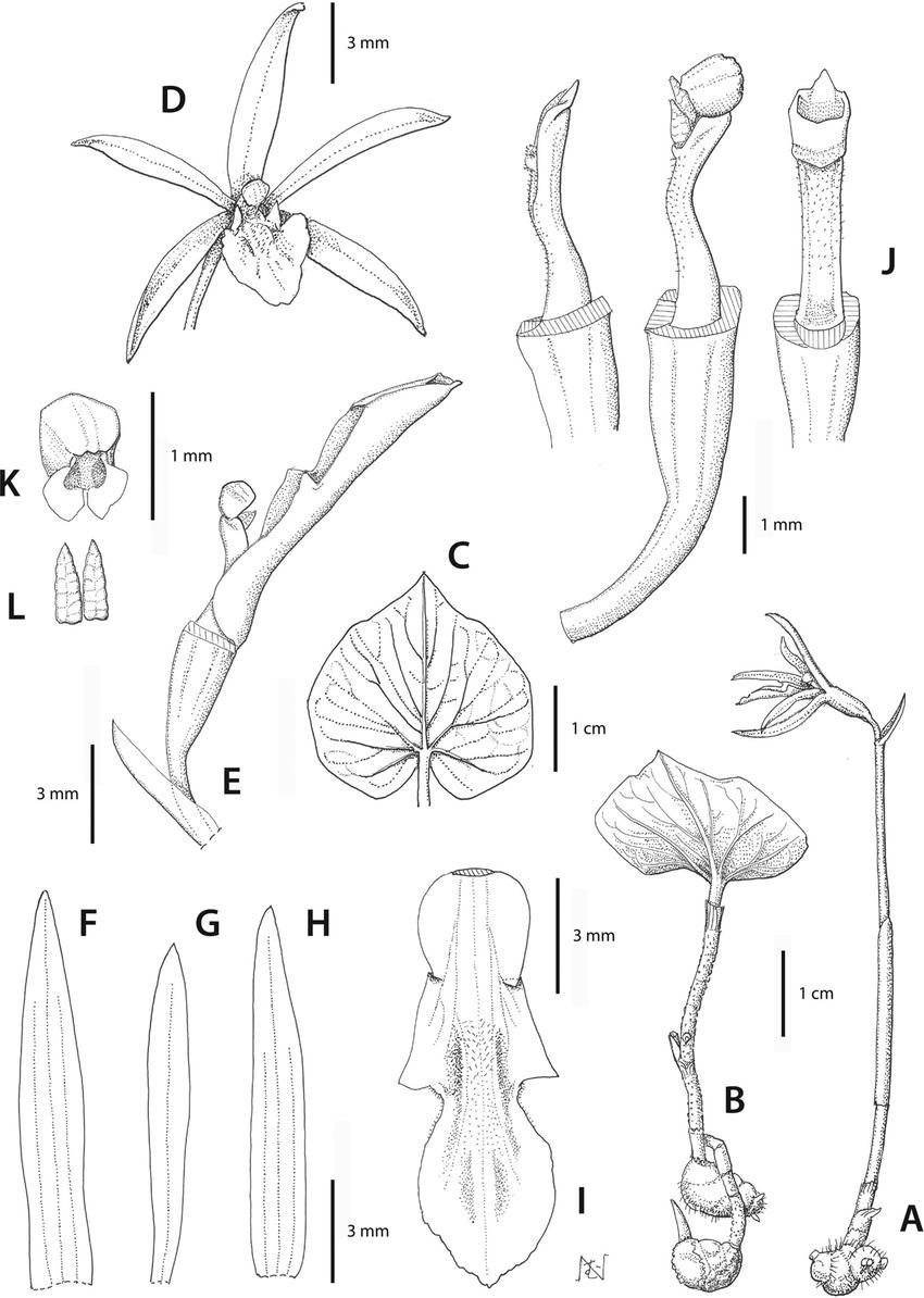 Nervilia futago S. W. Gale & T. Yukawa. A. Plant in flower