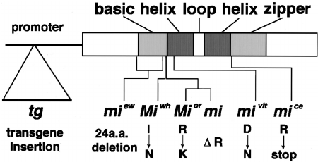 Schematic diagram of MITF structure. The basic, helix, and