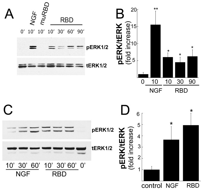 A, Immunoblot analysis of ERK1/2 after treatment with RBD