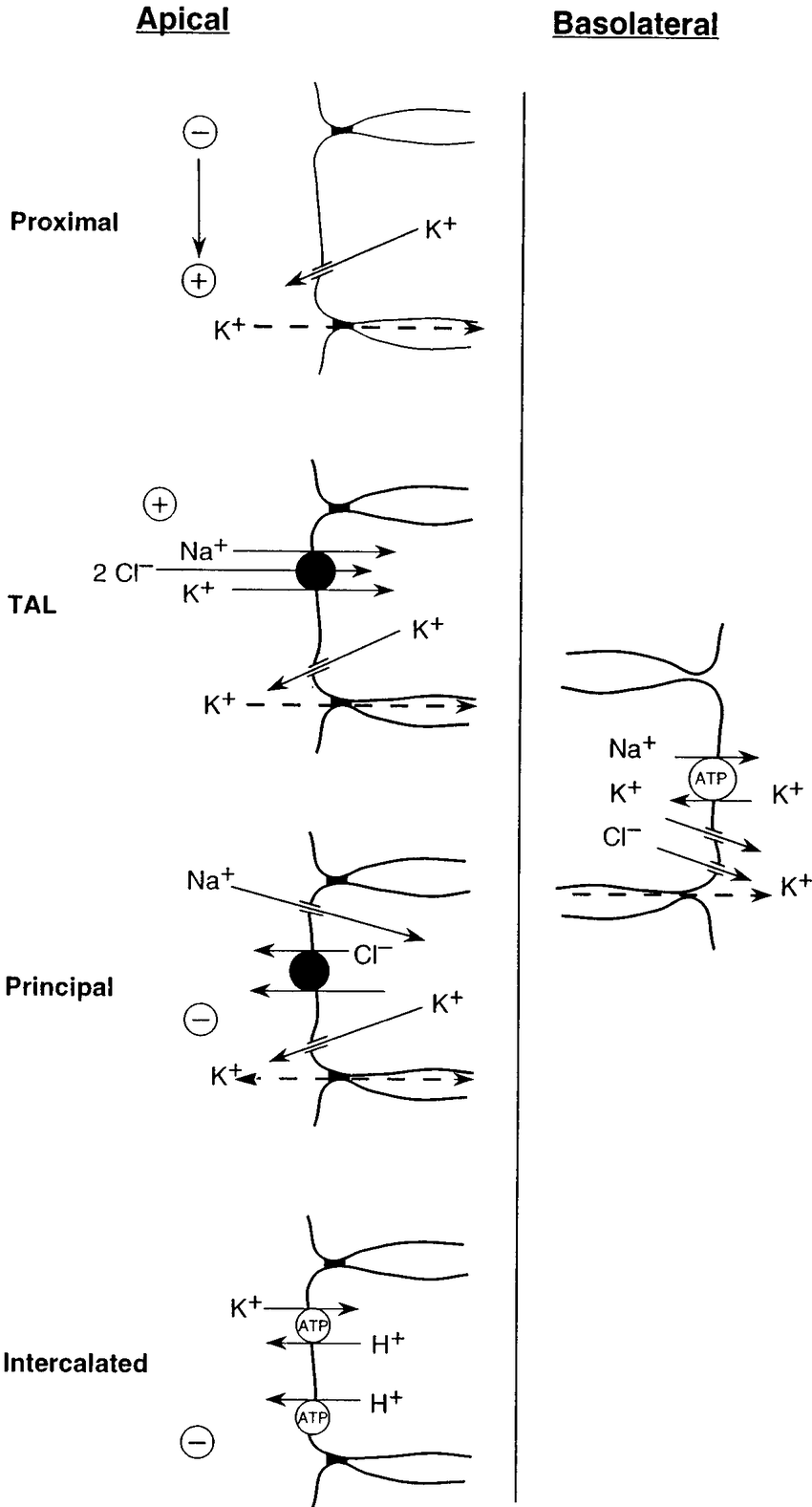 hight resolution of cell models of potassium transport along the nephron note similarity of transporters in the basolateral