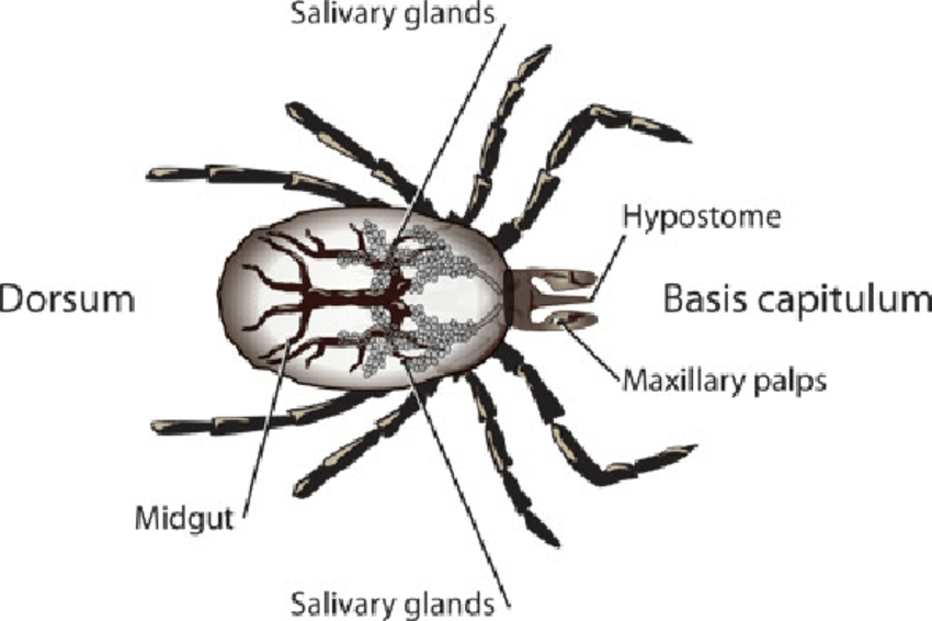 tick amblyomma spp diagram