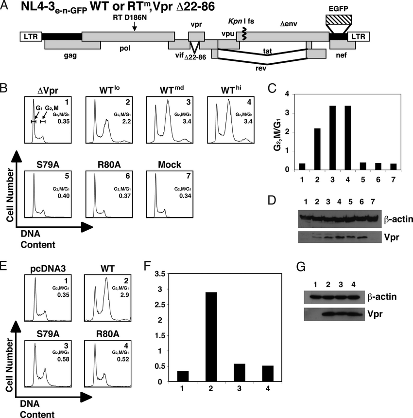 Serine 79 and arginine 80 are critical residues for Vpr