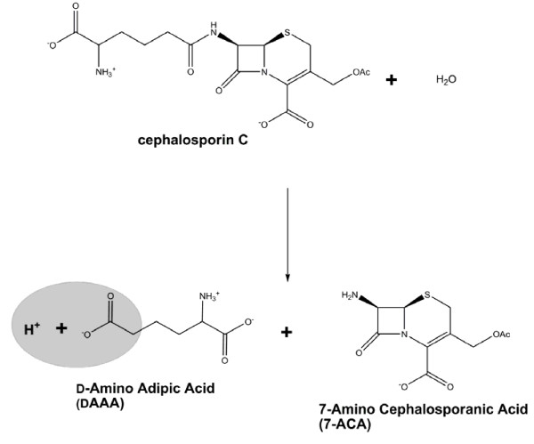 Cephalosporin C hydrolysis catalyzed by CCA. Formation of