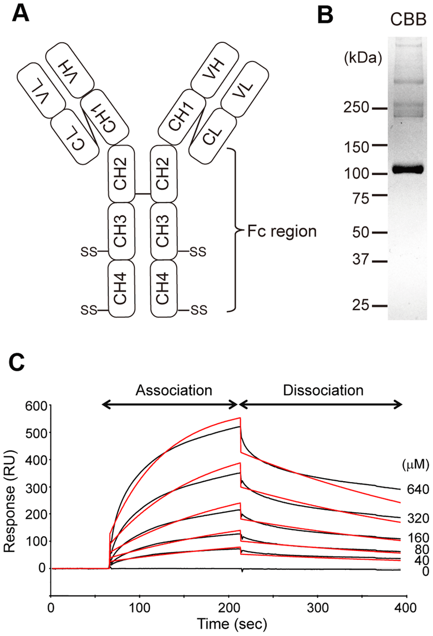 hight resolution of kinetic analysis of igm fc binding to aim a diagram illustrating the