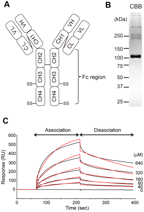 small resolution of kinetic analysis of igm fc binding to aim a diagram illustrating the
