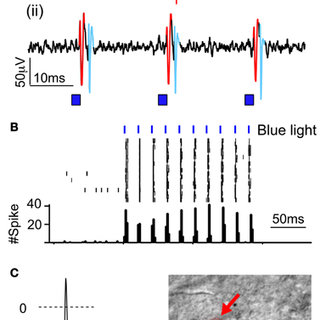 (PDF) Corrigendum: Long-term channelrhodopsin-2 (ChR2